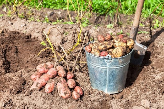 Patatas recién cavadas en un cubo de metal y una pala en el jardín