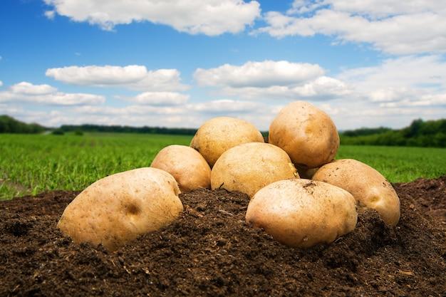 Patatas en el suelo bajo el cielo