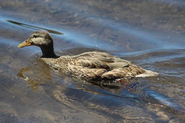 Pato ánade real gris nadando en la superficie del agua