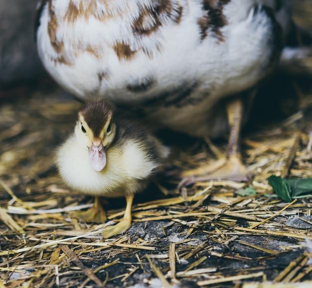 Pato y una bandada de patos sentados en el heno en el establo.