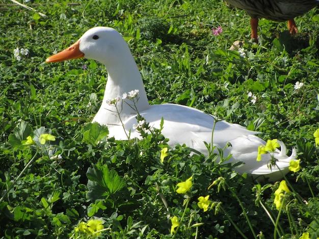 Pato doméstico blanco en un jardín durante el día
