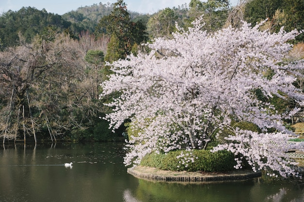 Pato y gran árbol de sakura en la piscina