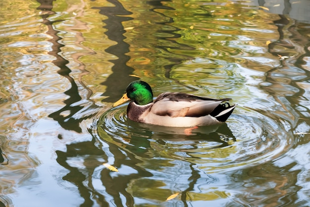 El pato nada en el agua del estanque en otoño. ánade real, pájaro macho. drake es un ave acuática con cabeza verde.