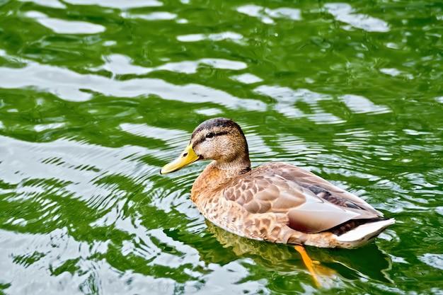 Pato salvaje nadando en un estanque de agua verde
