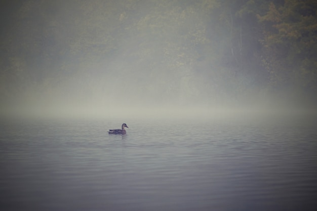 Pato en la superficie del agua en el estanque. tiempo de otoño con niebla. animal en la naturaleza. fondo colorido natural.