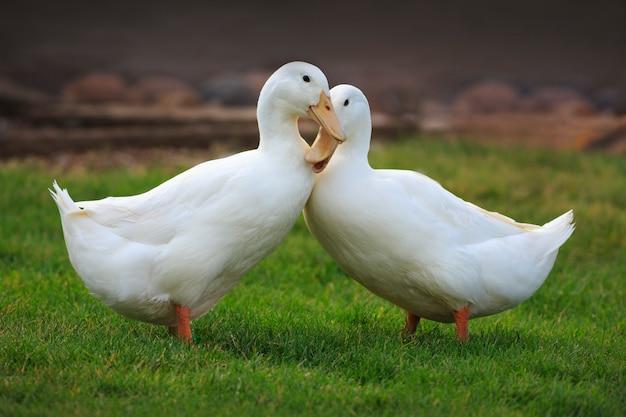 Patos blancos enamorados