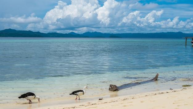 Patos blancos y negros locales alimentándose en la playa de la isla de kri. raja ampat, indonesia, papua occidental