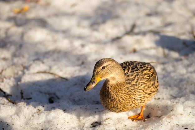 Patos caminando sobre la nieve de primavera