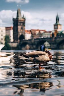 Patos y cisnes nadan en el río moldava contra el fondo del puente de carlos. destino turístico popular en praga. charles bridge al atardecer swan en primer plano.