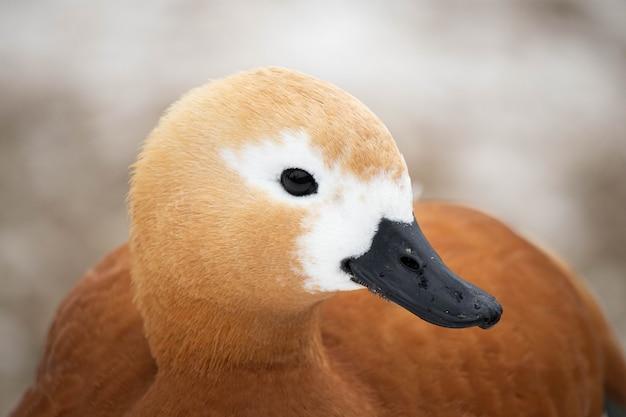 Patos en el estanque del parque. cabeza de pato de cerca. retrato de pájaro.
