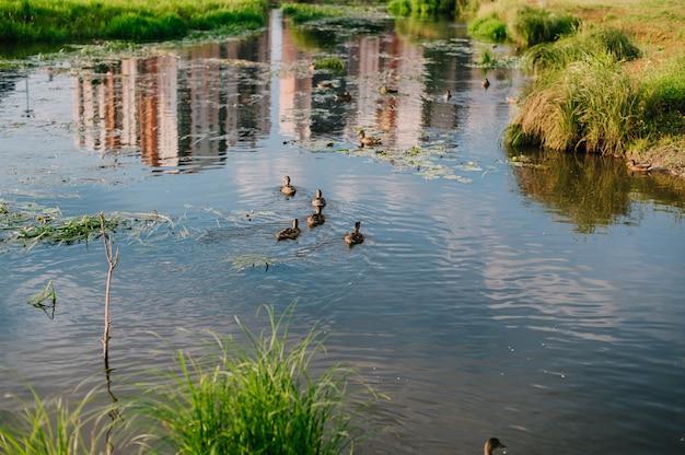 Patos en el estanque, reflejos del cielo en el agua.