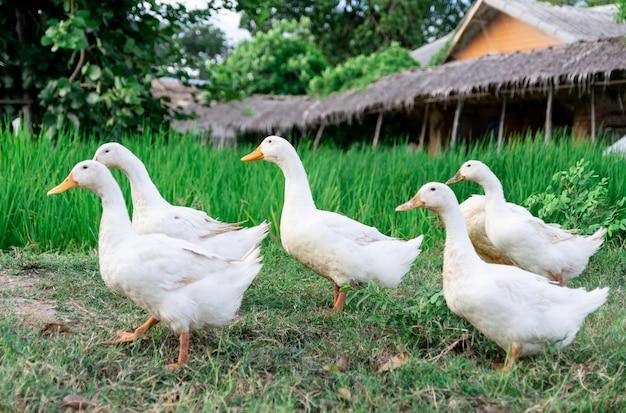 Patos muchos blancos un campo de arroz