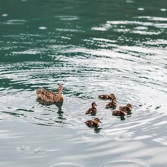Patos con patitos flotando en el agua.