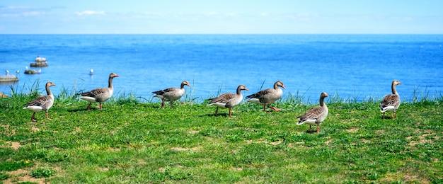 Patos salvajes mallard anas platyrhynchos de pie en la orilla
