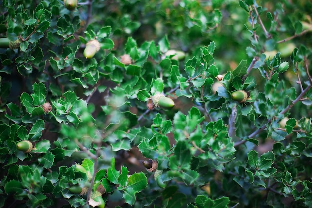 Patrón de hojas de roble