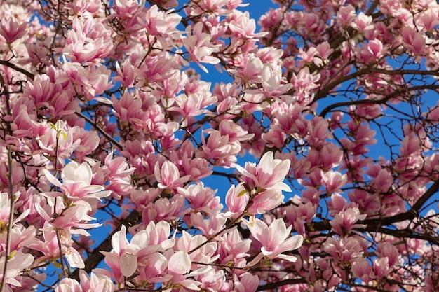 Patrón natural de flores frescas de magnolia sobre fondo de cielo azul