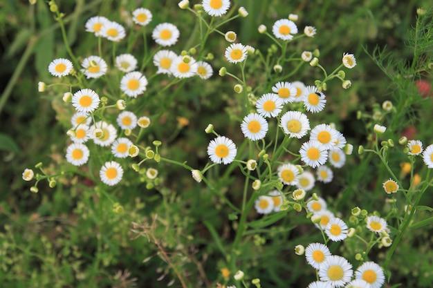 Patrón natural con pequeñas flores blancas de manzanilla en la hierba.