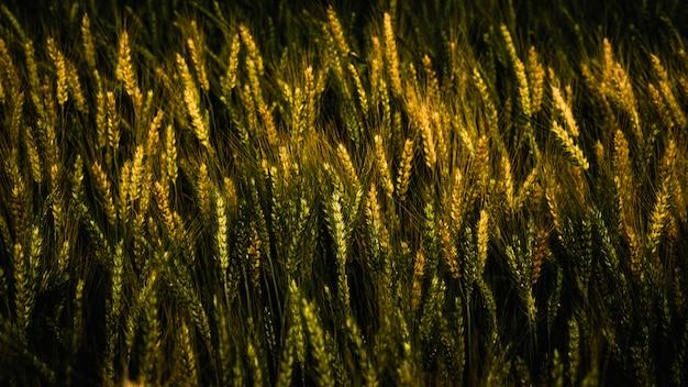 Patrón de trigo dorado en la granja en verano.