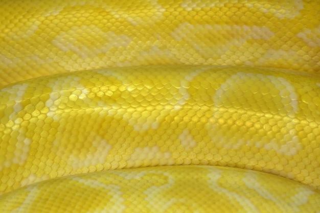 Patrones coloridos y piel de pitón o boa reticulada dorada.
