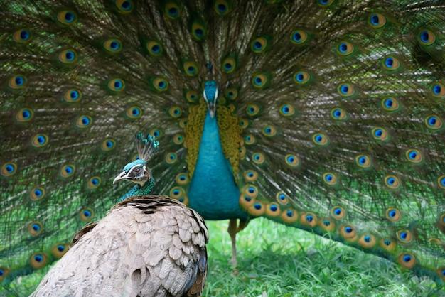 Peacock muestra su hermosa cola, pero peahen no está impresionado