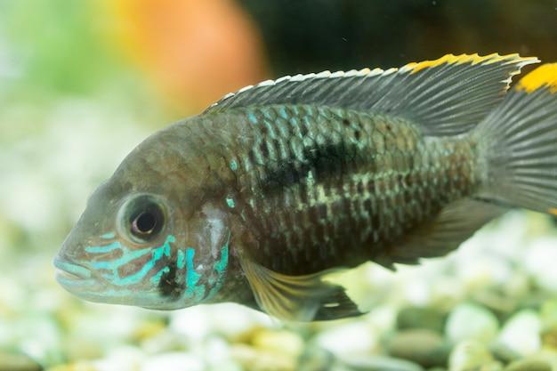 Peces de acuario cíclidos enanos. apistogramma nijsseni es una especie de pez cíclido, endémica de hábitats locales de aguas negras altamente restringidos en el sur de perú.