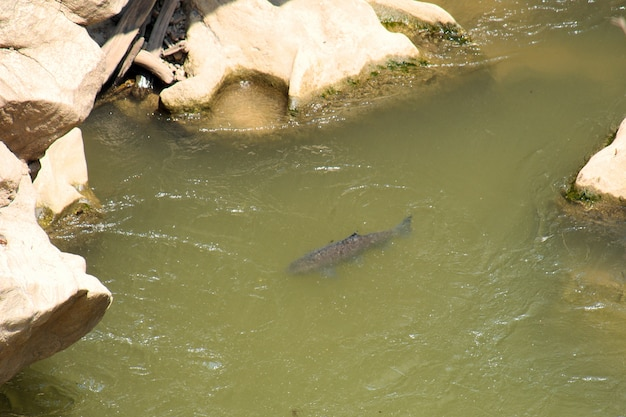 Peces de agua dulce están nadando en el río en el parque nacional op luang, hot, chiang mai, thail