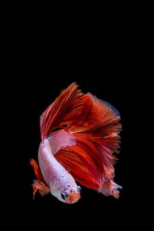 Peces de betta rosados y rojos, peces luchadores siameses sobre fondo negro