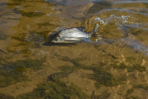 Peces enfermos en el agua cerca de la costa.