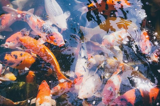 Peces koi en el estanque del jardín