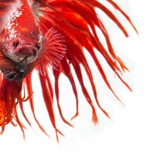 Los peces luchadores siameses muestran la hermosa cola de las aletas, el pez betta crowntail