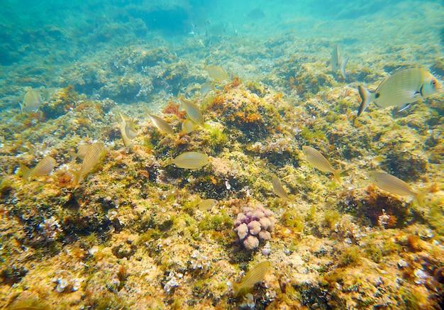 Peces mediterráneos submarinos en arrecife