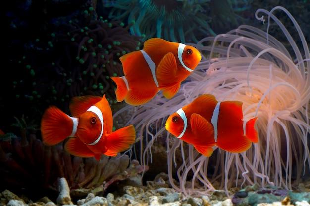 Peces payaso ocellaris entre arrecifes de coral