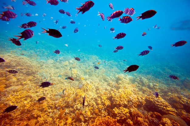 Peces tropicales en el área de los arrecifes de coral