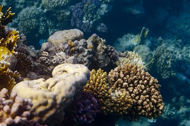 Peces tropicales y corales en el mar rojo, egipto.
