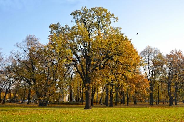 Pedunculada especie de roble otoñal en el parque mikhailovsky