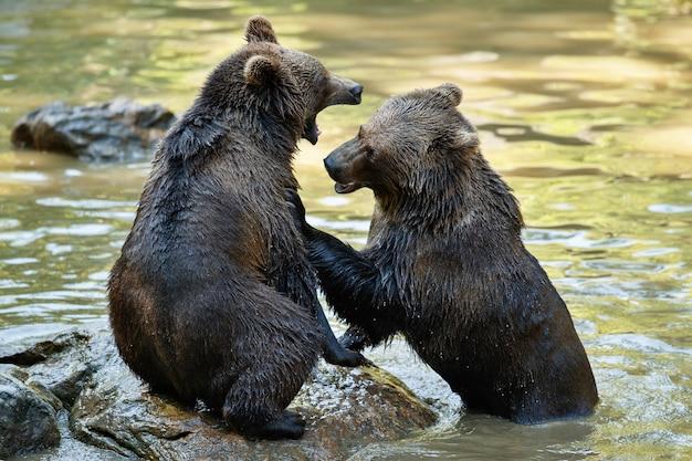 Pelea de verano entre los hermanos osos ursos arctos