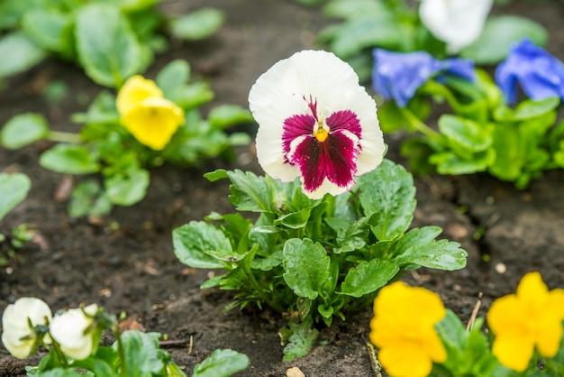 Pensamiento blanco con complementos violetas afuera en el jardín