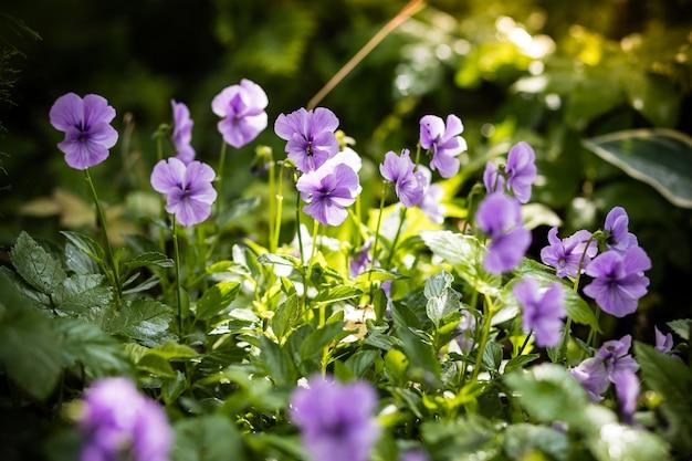 Pensamiento de jardín con pétalos de color púrpura. viola pensamiento tricolor en macizo de flores.