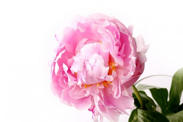 Peonía aislada rosa claro