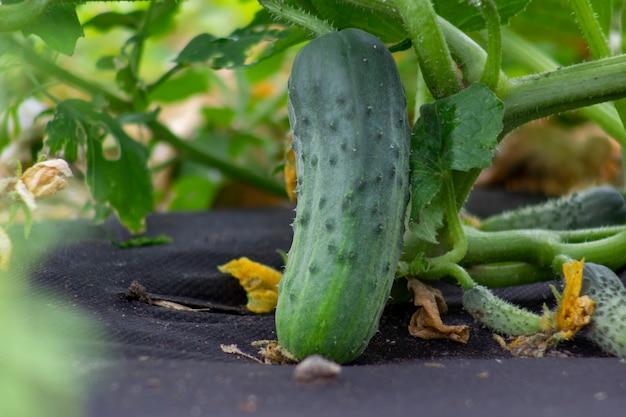 El pepino verde joven crece en un tallo.