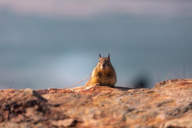 Pequeña ardilla en la costa de california