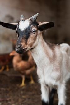 Pequeña cabra con cuernos sentado en el granero