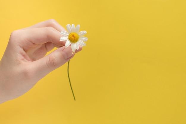Pequeña daisie en mano de mujer en un amarillo
