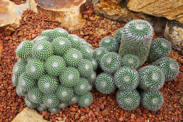 Pequeña flor rosa floreciente en cactus en desierto