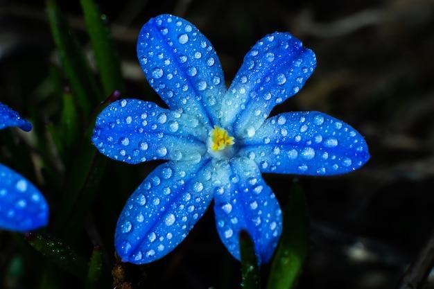 Pequeña flor salvaje azul en gotas de primer plano de agua en un oscuro