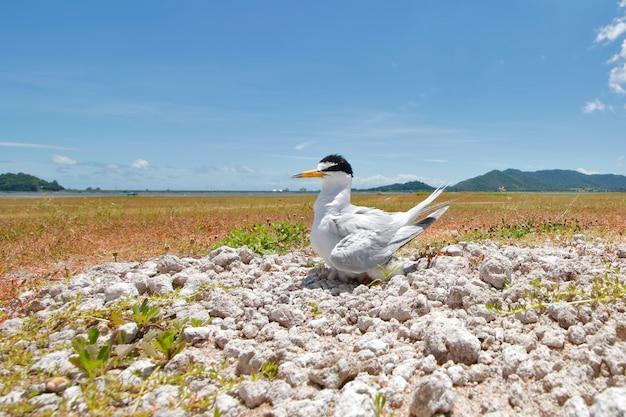 Pequeña golondrina de mar sternula albifrons aves hermosas de tailandia