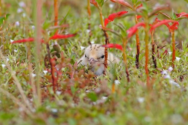 Pequeña golondrina de mar sternula albifrons hermoso bebé aves de tailandia