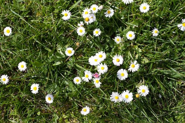 Pequeña margarita blanca en primavera brillante en el campo