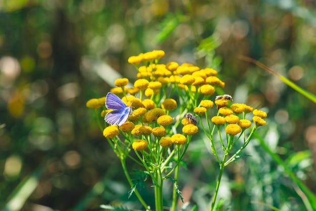 Pequeña mariposa azul en flor silvestre amarilla con espacio de copia en bokeh