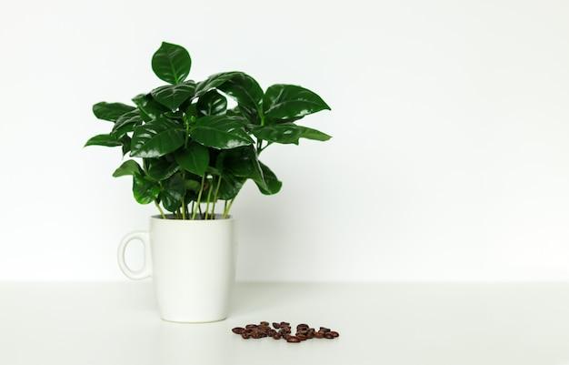 Pequeña planta de cafeto arábica en taza en taza
